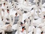 U Sloveniji potvrđen virus ptičje gripe kod labudova iz Pragerskog