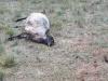 FOTO: Vukovi na Proslapu zaklali 11 ovaca