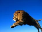 Lav kroz prozor uskočio u automobil američkoj turistkinji i ubio je