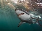 Plivački veteran se uspio otrgnuti iz ralja morskog psa