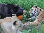 Medvjed, lav i tigar su najbolji prijatelji već 15 godina