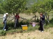 FOTO: Rojevi pčela na šljivama u Rumbocima