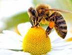 Pčele nestaju alarmantnom brzinom