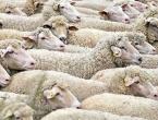 Q groznica u Tomislavgradu: Zaraženo 275 ovaca