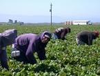 Traže se berači: Dobar radnik može zaraditi i 1.300 eura