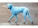 Vlasti u Indiji zatvaraju tvornicu zbog koje su psi postali plavi