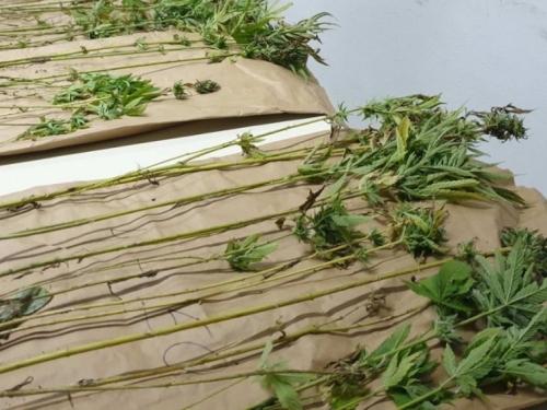 VIDEO: Mostarci uzgajali marihuanu u Nevesinju