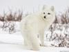 Polarne lisice atrakcija u ruskim gradovima