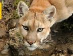 SAD: Istočna puma službeno izumrla kao vrsta