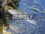 Njemačka: Zbog velikih vrućina uginulo šest tona ribe
