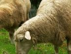 Ovce popasle marihuanu, pojele gotovo sav dokazni materijal