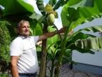 U Bosni rastu banane - na jednom stablu bude i po 140 komada