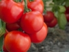 Biljke koje trebate posaditi kraj rajčice da dobijete više plodova
