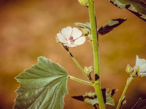 Sljezov čaj: Rješenje za kašalj, bolno mokrenje i bolesti probavnog sustava