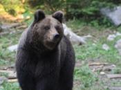 Korisnici lovišta pozvani da hrane medvjede i tako ih zadrže podalje od naselja
