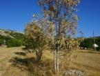 Suša prepolovila urod na Duvanjskom polju