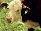 Nabavljaju cjepivo: U BiH nema bolesti kvrgave kože goveda
