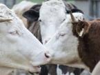 Prikopčali krave na internet