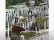 VIDEO| Krave pasu na sarajevskom groblju