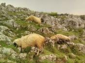 Grom usmrtio više ovaca iznad duvanjskog sela