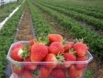 Proizvodnja jagoda u Hercegovini: Rod podbacio, sezona branja kraća