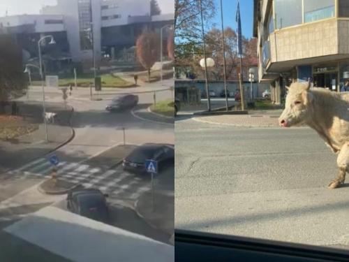 Bik pobjegao iz tvrtke u koju je trebao na klanje, trčao Slatinom, skoro se zabio u pješaka!