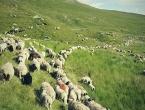 Fotografijama čuvanja ovaca pastir na Twitteru skupio 45 tisuća pratitelja