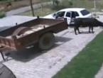 Video hit iz BiH: Kako ukrasti kravu za 60 sekundi