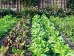 Poslije češnjaka najbolje je posijati salatu, mrkvu, leguminoze
