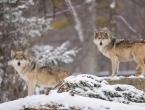 Vukovi bi mogli postati prijetnja i u Ljubuškom i Grudama