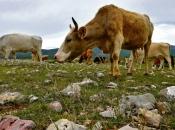Zabranjuje se napasavanje stoke u poljima od 10. svibnja