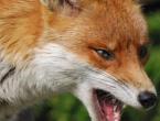 Tomislavgrad: Lisice bez straha prilaze kućama