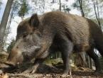 Narodnjacima brane njive od divljih svinja