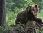 Medvjedi u Rusiji raskopali grobove tražeći hranu
