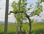 Čitluk: Posjekli vinograd s 950 nasada vinove loze