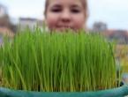 Znate li zašto sijemo pšenicu baš na svetu Luciju?