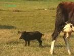 Video: Mlada divlja svinja uz stado goveda