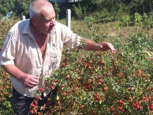 Prije tri godine počeo uzgajati šipurak: Od uroda zaradi tri godišnje mirovine