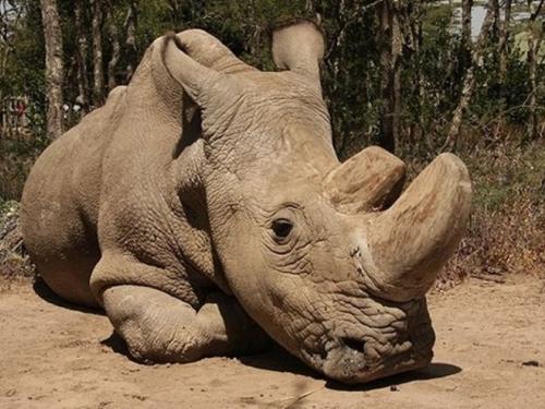 Uginuo posljednji mužjak sjevernog bijelog nosoroga na svijetu