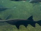 Jedna od najvećih slatkovodnih riba je prva izumrla vrsta u 2020.