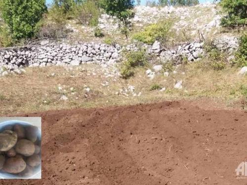 Lopovi mu iskopali i odnijeli 500 kilograma krumpira, njemu ostavili jednu kantu