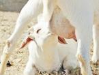 Kozje mlijeko čini čuda za zdravlje, među najzdravijim namirnicama na svijetu