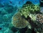 Znanstvenici uspjeli presaditi koralj na Velikom koraljnom grebenu