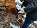 Na Draševu ubijen konj