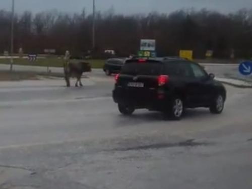 VIDEO| Kružnim tokom u Posušju prošetao bik