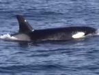 VIDEO: Kitovi ubojice iz zasjede napali jato dupina