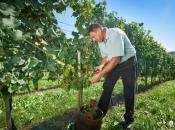 Zbog manjka radnika propada voće u Hercegovini
