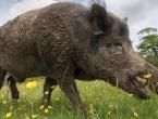 Afrička svinjska kuga se širi Europom, hrvatske vlasti naredile izlov divljih svinja