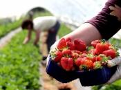 Trgovine u BiH preplavile otrovne jagode