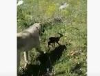 Video: Neobičan susret psa i laneta